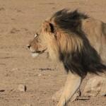 lion-1205190_960_720