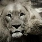 lion-608251_1280